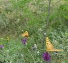 27 василек с бабочками DSC00423